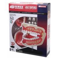Пазл 4D Master Объемная анатомическая модель Зубной ряд человека Фото